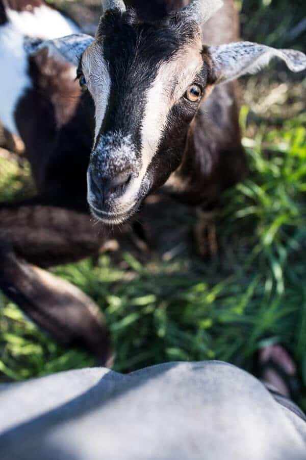 Everyone...It's Time to Meet the Goats (PHOTOS!)! | halfbakedharvest.com @hbharvest