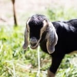 Baby Goat Photos + All Things Fall | halfbakedharvest.com @hbharvest