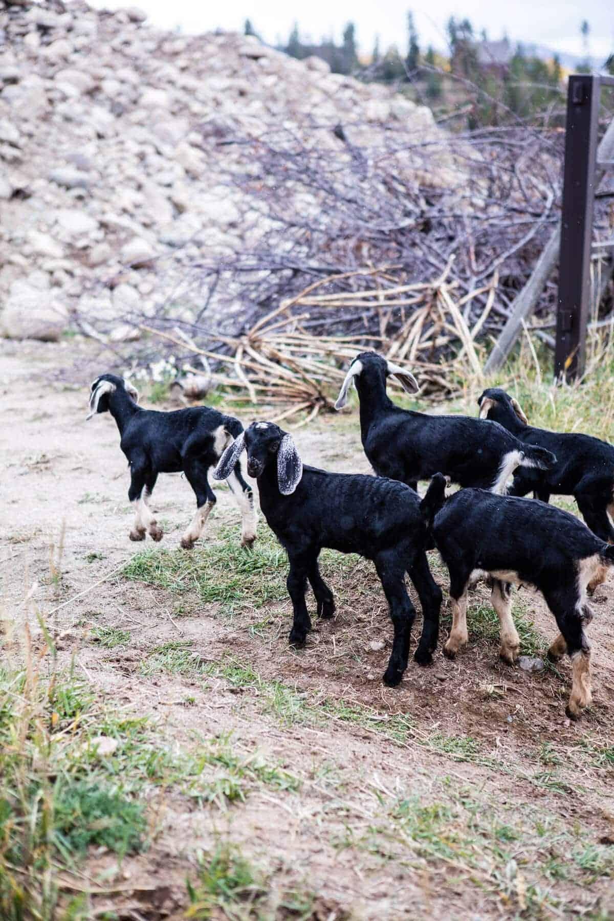 Baby Goat Photos + All Things Fall | halfbakedharvest.com @hbharvest